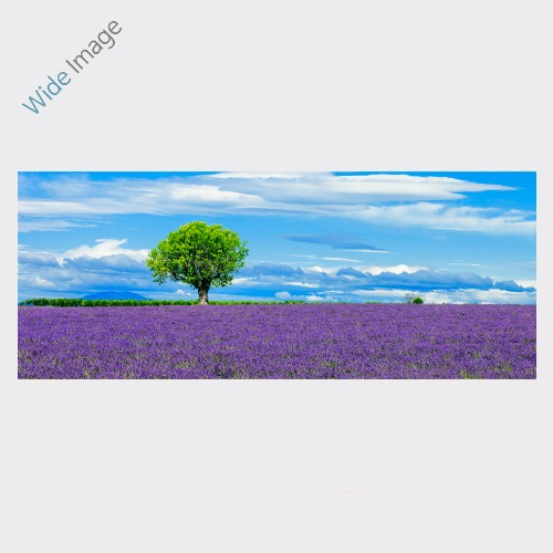 Panoramic view of lavender field with Fortune tree, (라벤더 밭의 행운나무 ) - 와이드